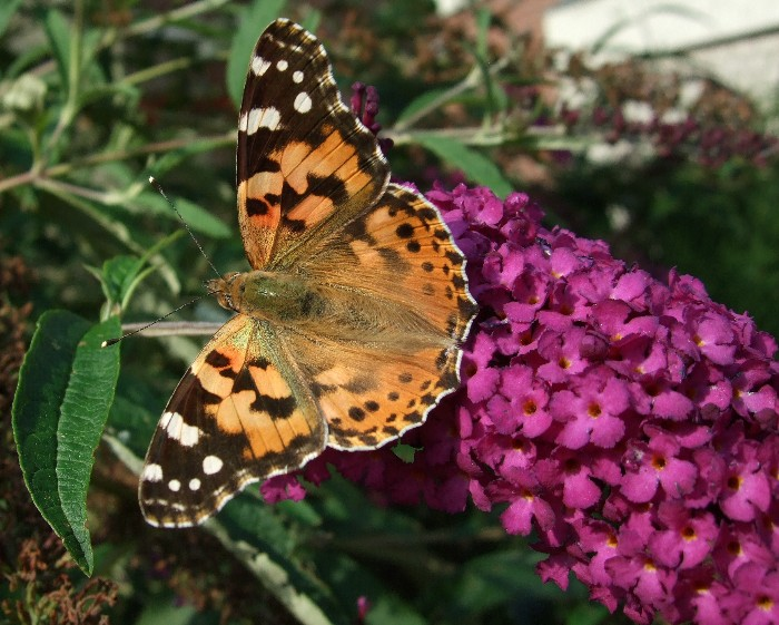photo, painted lady