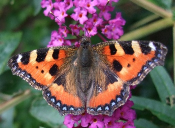 photo, small tortoiseshell