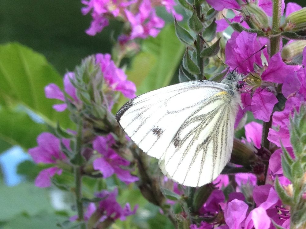 photo, cabbage white on the willowherb