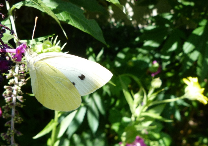 photo, cabbage white butterfly